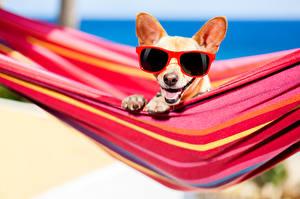 Fotos Hunde Hängematte Chihuahua Brille