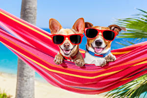 Images Dogs Hammock 2 Chihuahua Jack Russell terrier Eyeglasses Tongue Funny Animals