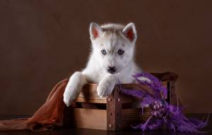 Bilder Hunde Siberian Husky Welpe Starren Pfote