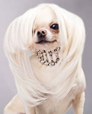 Bilder Hunde Schmuck Grauer Hintergrund Chihuahua Haar