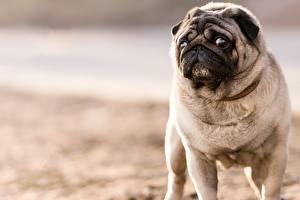 Fotos Hunde Mops (Hunderasse) Starren