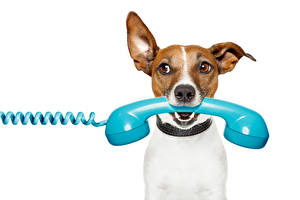 Image Dogs White background Jack Russell terrier Phone Staring