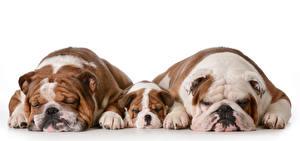 Fotos Hunde Weißer hintergrund Drei 3 Welpe Bulldogge Tiere