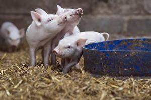 Wallpaper Domestic pig Three 3 Animals