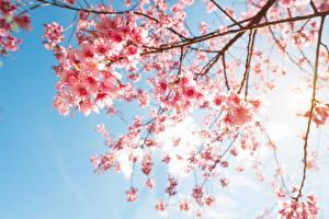 Fotos Blühende Bäume Ast Japanische Kirschblüte Natur