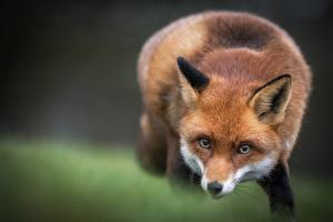Images Foxes Staring Animals