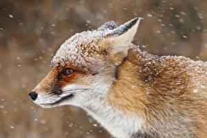 Hintergrundbilder Füchse Schneeflocken Schnauze ein Tier