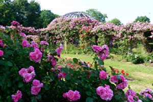 Bakgrunnsbilder Tyskland Hage Roser Busker Rosa farge Darmstadt Park Rosenhoehe Natur