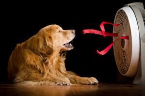 Hintergrundbilder Golden Retriever Hunde