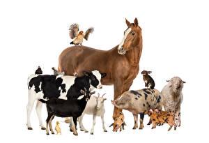 Hintergrundbilder Pferde Kuh Hausziege Ziegen Hausschwein Hausschaf Papageien Kaninchen Haushuhn Weißer hintergrund Tiere