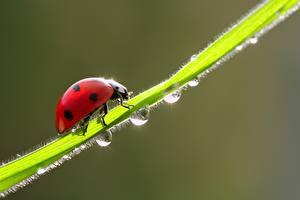 Wallpaper Coccinellidae Closeup Drops animal