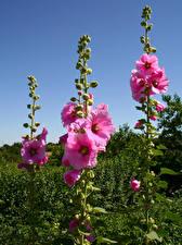 Bilder Malven Rosa Farbe Blütenknospe Blumen