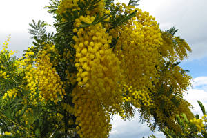 Wallpapers Mimosa Closeup Branches Yellow Flowers