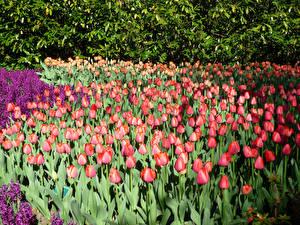 Fotos Niederlande Park Tulpen Hyazinthen Viel Keukenhof