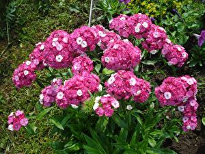 Fotos Flammenblumen Rosa Farbe