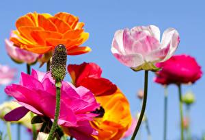 Bilder Mohnblumen Großansicht Blumen