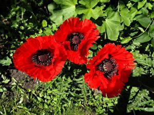 Bilder Mohn Großansicht Drei 3 Rot Blumen