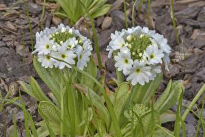 Wallpapers Primula White