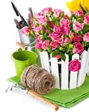 Fotos Rosen Weißer hintergrund Eimer Rosa Farbe Blumen