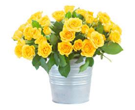 Hintergrundbilder Rosen Weißer hintergrund Eimer Gelb Blüte