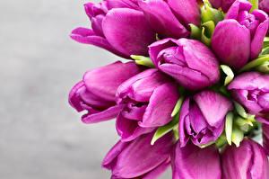 Bilder Tulpen Hautnah Grauer Hintergrund Violett Blumen