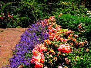 Bakgrunnsbilder Amerika Hage Rosa Riddersporeslekten Busker Brooklyn Botanic Garden Natur