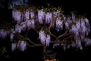 Hintergrundbilder Wisterie Nacht Ast Blumen