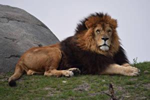 Hintergrundbilder Große Katze Löwen Blick