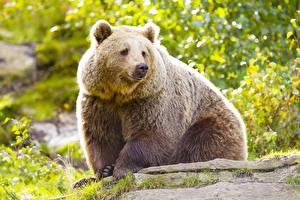 Hintergrundbilder Bären Braunbär Tiere