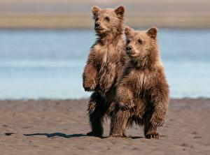 Fotos Bären Braunbär Jungtiere 2 ein Tier