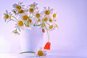 Hintergrundbilder Kamillen Eimer Blüte