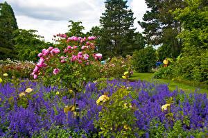 Fotos Kanada Parks Rosen Vancouver Strauch Queen Elizabeth Park Natur