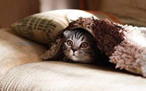 Hintergrundbilder Katze Blick Kissen Tiere