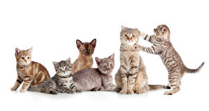 Fotos Hauskatze Viel Weißer hintergrund Kätzchen Tiere