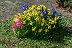 Bilder Narzissen Hyazinthen Lupinen Blumen
