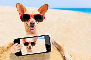 Bilder Hunde Chihuahua Brille Strände Smartphone Selfie