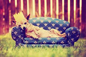 Hintergrundbilder Hund Krone Sofa Chihuahua ein Tier