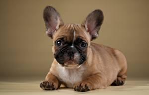 Image Dogs French Bulldog