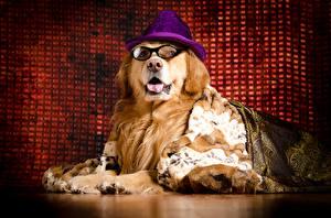 Bilder Hund Golden Retriever Der Hut Brille Tiere