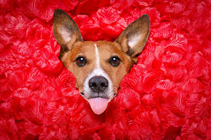 Photo Dogs Jack Russell terrier Petals Red Tongue Staring