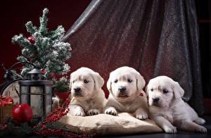 Bilder Hunde Retriever Drei 3 Weiß Welpe Tiere