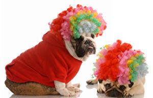 Bilder Hunde Weißer hintergrund 2 Bulldogge Uniform