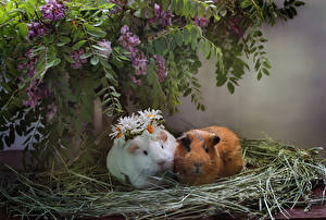 Image Cavy Two Straw animal