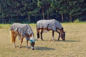 Fotos Hauspferd Zwei Tiere