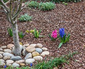 Bilder Hyazinthen Steine Mehrfarbige Baumstamm
