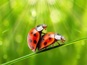 Hintergrundbilder Insekten Marienkäfer 2 Tiere