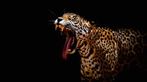 Pictures Leopards Black background Tongue Yawn