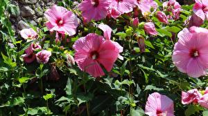 Hintergrundbilder Malven Hautnah Rosa Farbe Blüte
