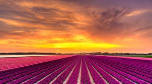 Bilder Niederlande Felder Hyazinthen Sonnenaufgänge und Sonnenuntergänge Natur