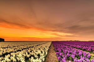 Hintergrundbilder Niederlande Felder Sonnenaufgänge und Sonnenuntergänge Hyazinthen Viel Natur Blumen
